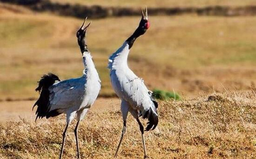 昆明寻甸县:黑颈鹤如约而至