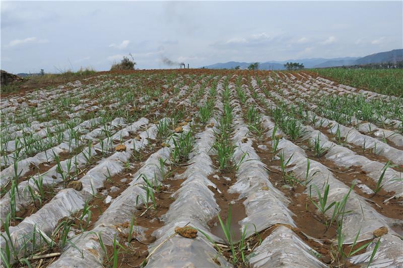 凤庆县蔗糖产业提质增效助推发展