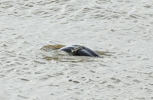 稀客!象山港瞻岐海域发现江豚