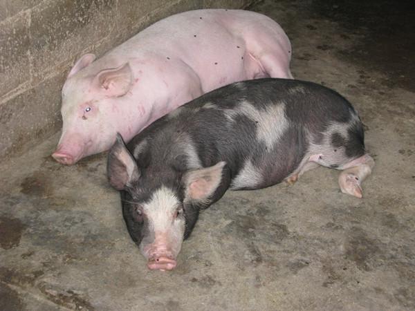 泸西县午街铺镇多举措促成畜牧产业稳步发展