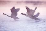 大天鹅与青海湖 年年欢歌