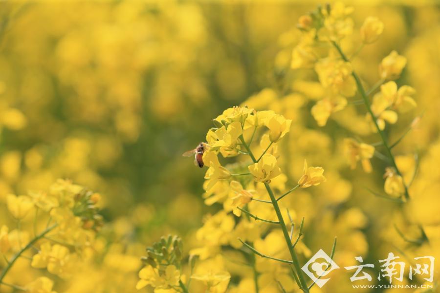 云南罗平80万亩油菜花盛放