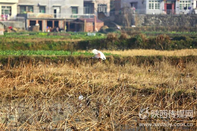 13只朱鹮落户汉阴双乳千亩荷塘