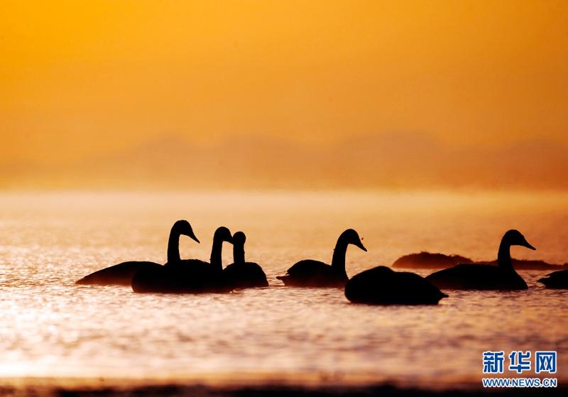 大天鹅沐浴青海湖——青海春天最美的水墨画