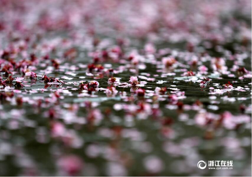 杭州阴雨天 满地梅花残