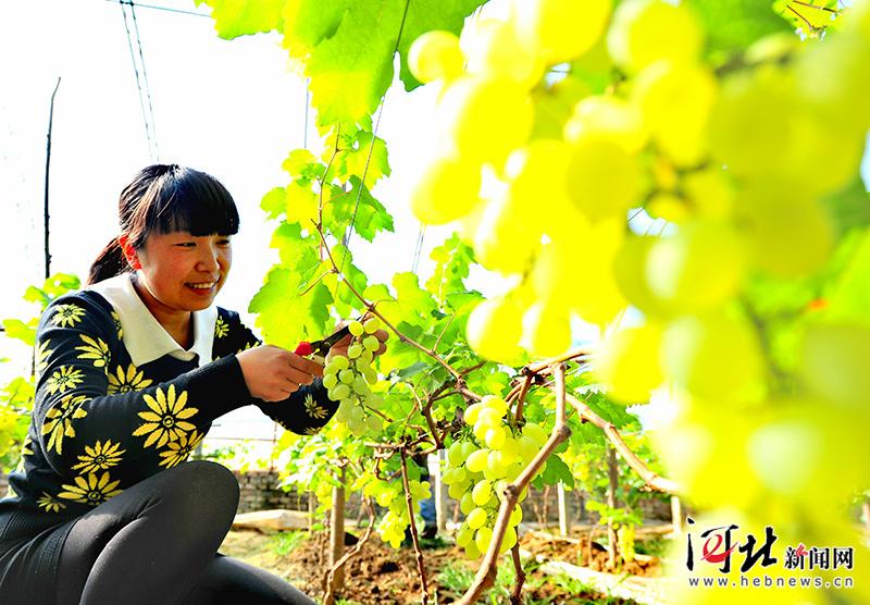 大棚葡萄熟了!饶阳特色生态乡村游吸引京津游客(图)