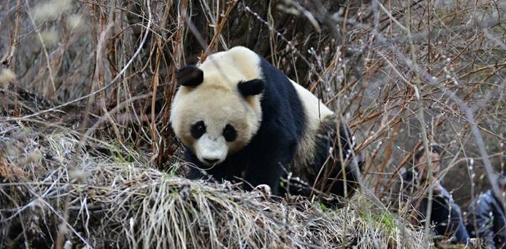 游客赏雪 偶遇野生大熊猫
