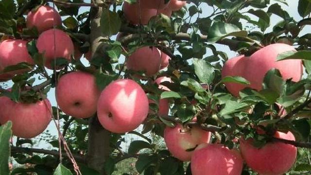 新农寒富苹果 柳河沟香瓜 成为国家地理标志保护产品