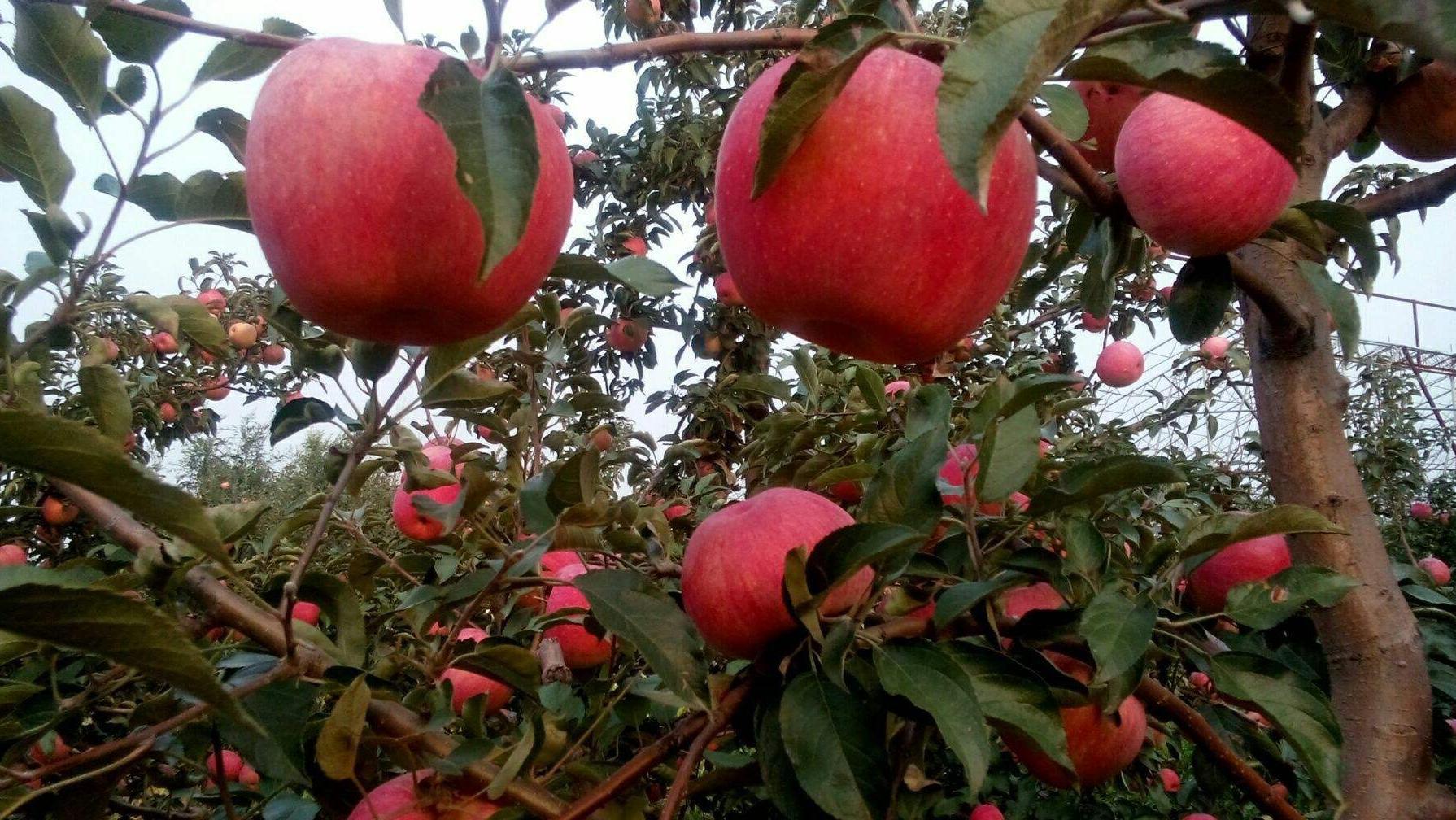 新农寒富苹果、柳河沟香瓜获批国家地理标志保护产品