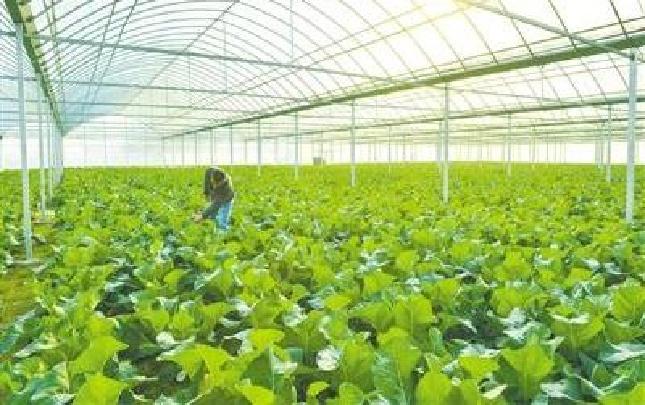 看扶沟蔬菜如何提档升级——不光种得好还要卖得好