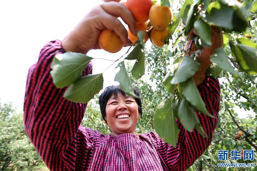 河南滑县:黄橙橙的杏儿甜甜的笑脸