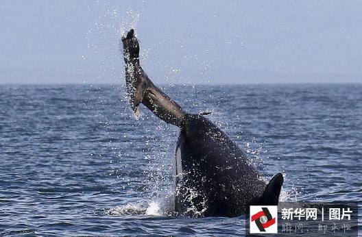 摄影师抓拍鲸鱼猎杀海豹精彩画面