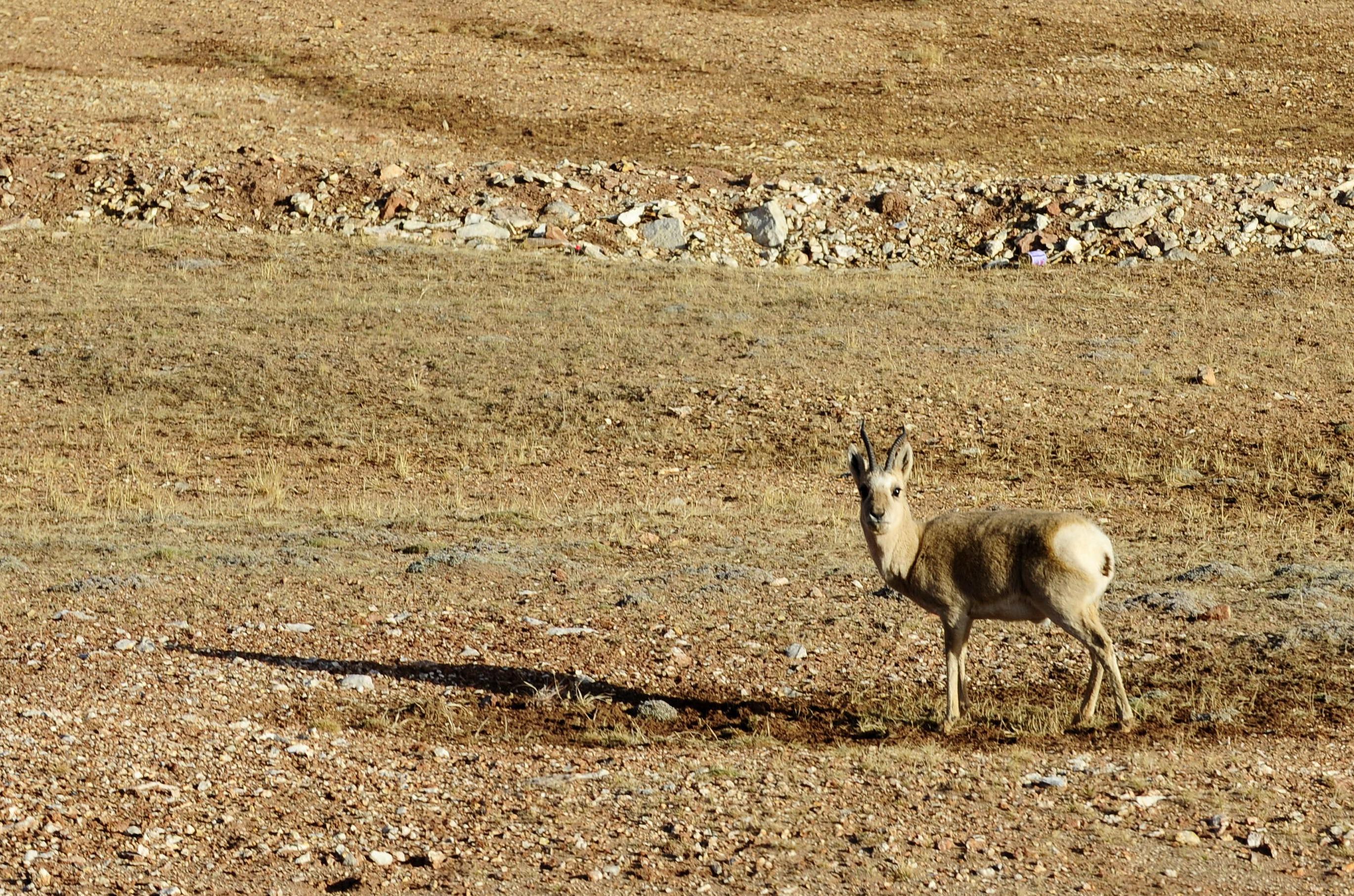 新华社照片,那曲(西藏),2016年6月7日 6月7日,扎西平措在色林错国家级自然保护区的鸟岛旁巡查。 在西藏那曲地区罗玛镇色林错国家级自然保护区,34岁的野保员扎西平措守护在鸟岛附近,为进入孵化期的小生命巡逻。 色林错国家级自然保护区位于藏北羌塘草原,平均海拔4500米以上,总面积近两万平方公里。这里生活着各种珍稀鸟类、藏羚羊、藏野驴、藏原羚年复一年,扎西平措和他的两位同事巡查着这片土地,防止偷猎和捕鱼。 近年来,随着各级保护区的相继成立、农牧民群众保护意识不断增强、生态环境持续改善,西藏珍