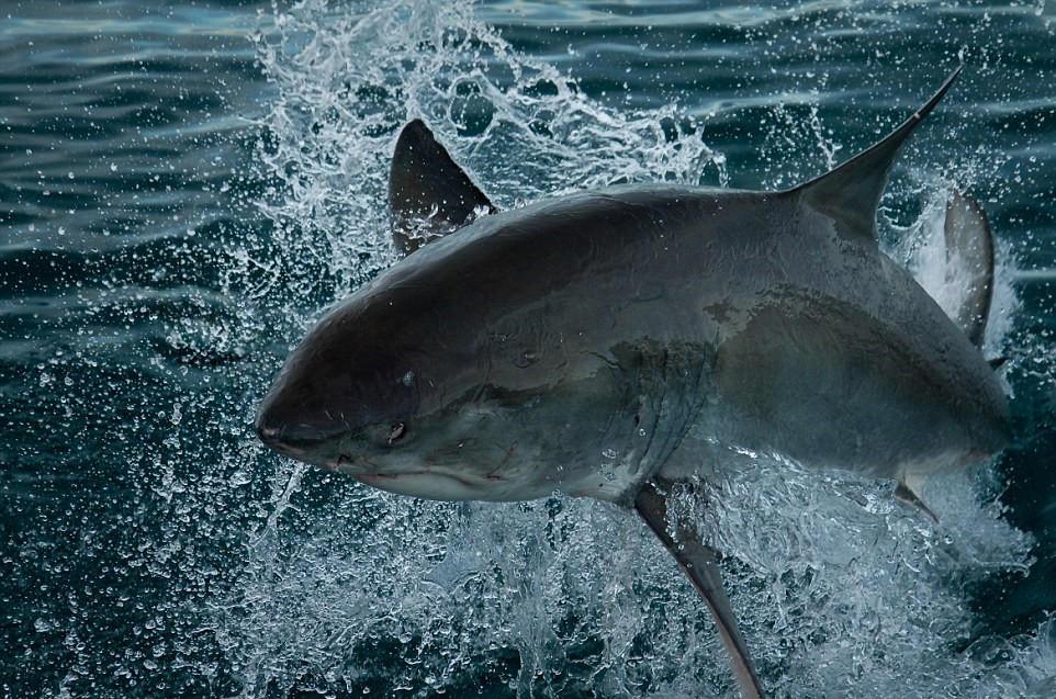 鲨血浴囹�a_近拍鲨鱼罕见照 血盆大口的惊悚微笑
