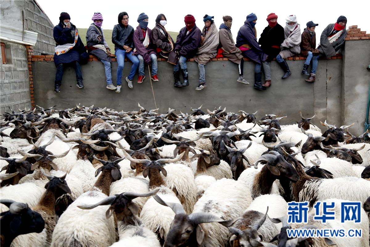 青海河南县:合作社分红 村民领钱又牵羊