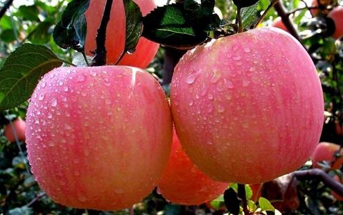 金秋九月 苹果飘香