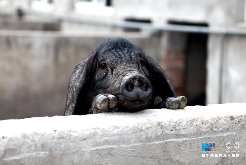 图为呆萌淮猪趴在猪圈围墙上环顾四周.新华网 施汉摄