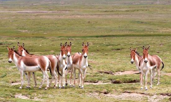 """青海玛多:近距离接触藏地""""野马""""——藏野驴"""