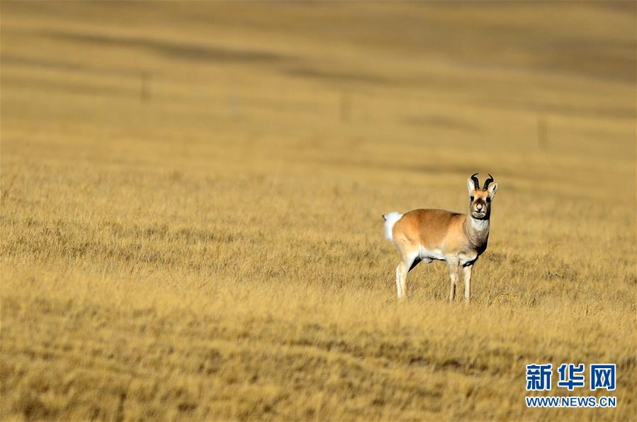 青海天峻:冬日里活跃的野生动物