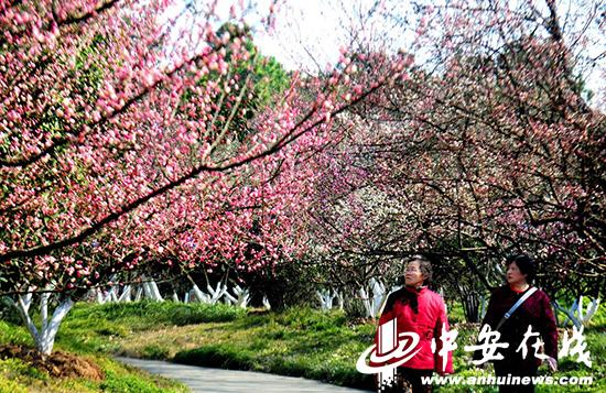 合肥植物园第十六届梅花节开幕 周末去赏春踏青