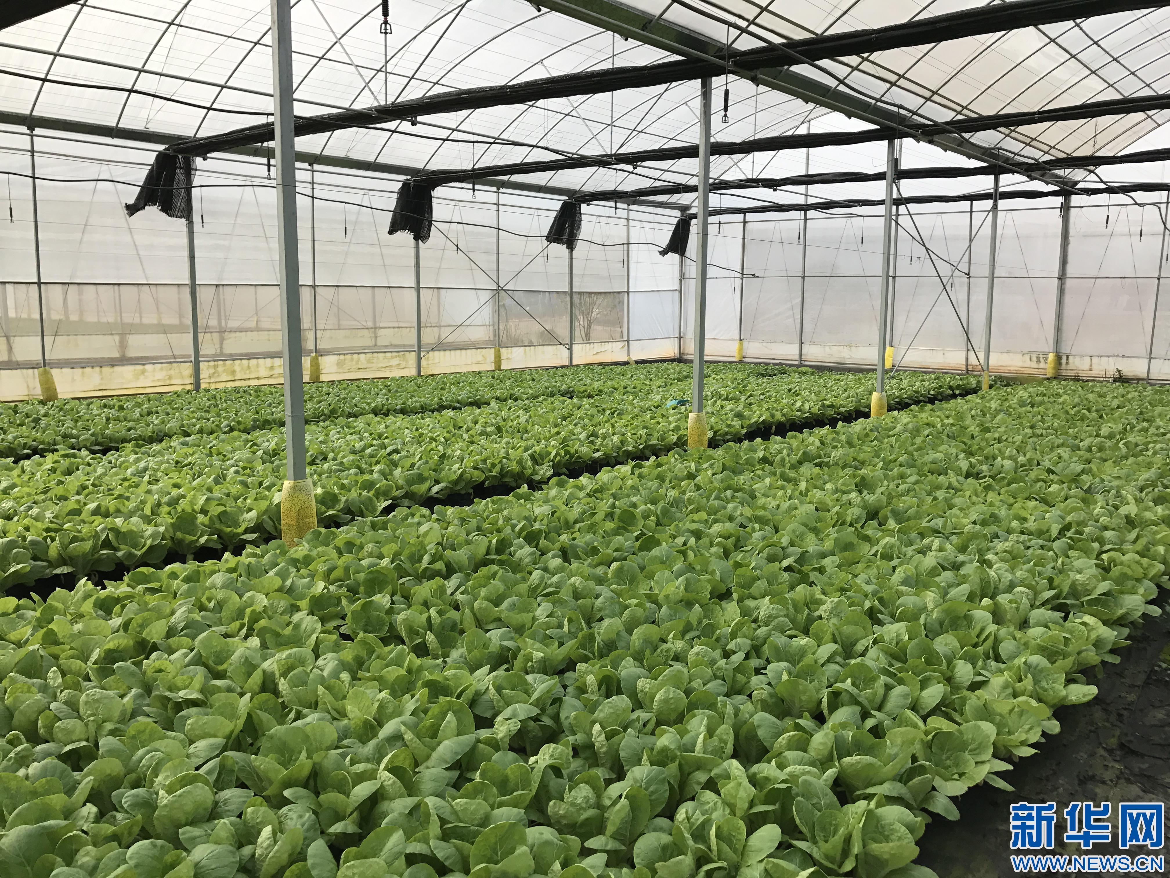 """图为""""盆栽无土栽培""""智能温室大棚蔬菜基地里的蔬菜."""