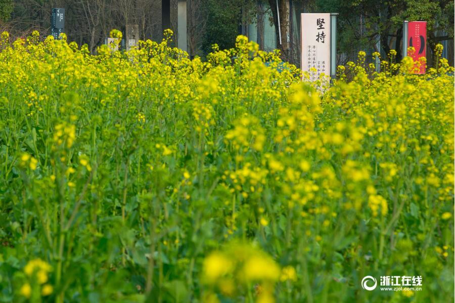 春之气息 美院油菜花悄然开放