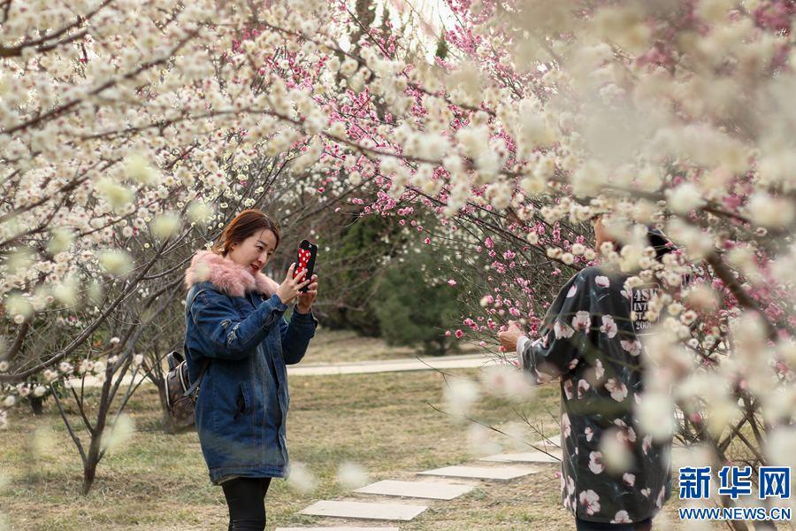 安阳:朵朵梅花惹人爱