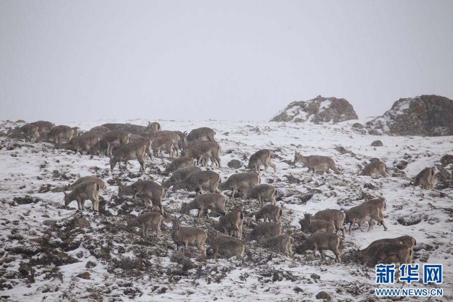 青海祁连近千只岩羊现身 雪后觅食萌态十足