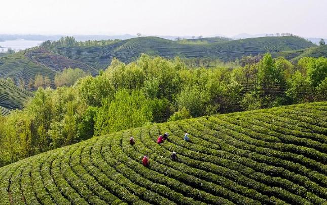 河南信阳:茶园采茶忙