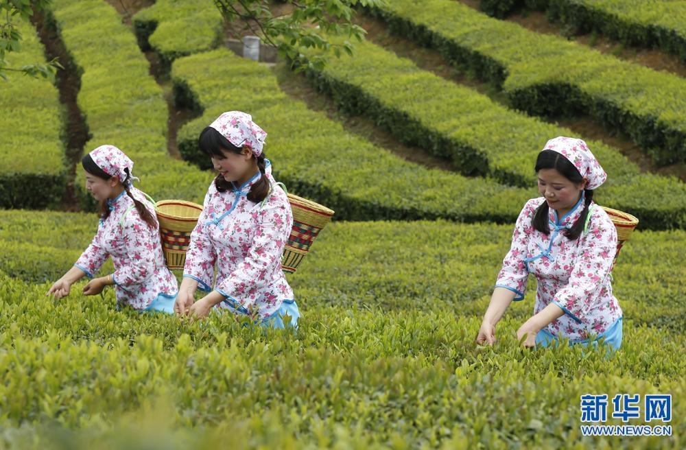 安徽石台:谷雨时节采茶忙
