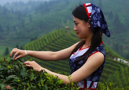 江西遂川:狗牯脑茶产业助力脱贫致富