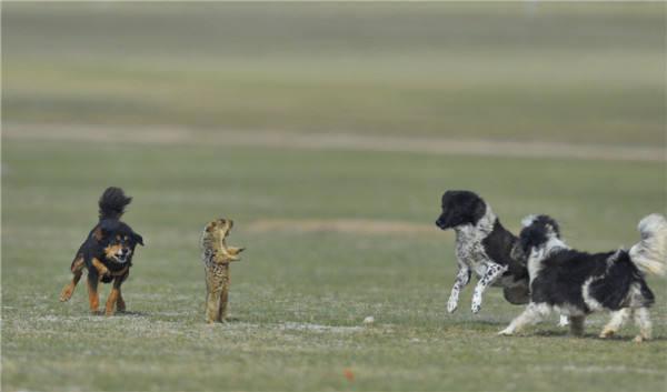 萌图看西藏第13期:高原上独特的风景——西藏的狗