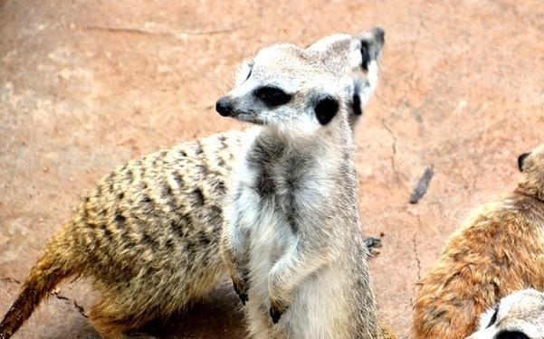 云南最大细尾獴家族安家野生动物园
