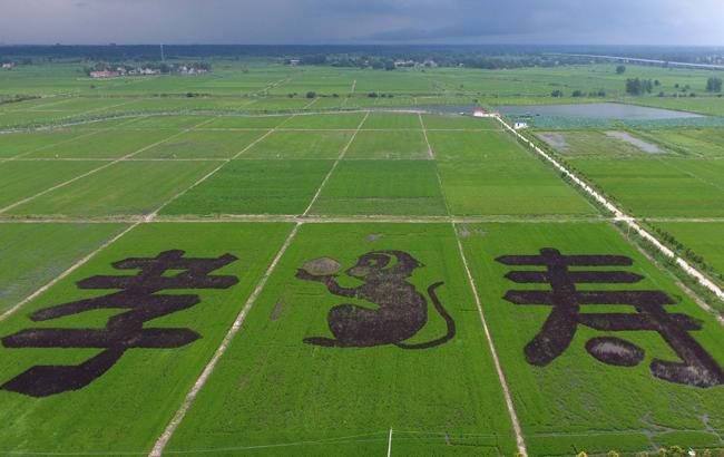 巨幅稻田画亮相安徽滁州