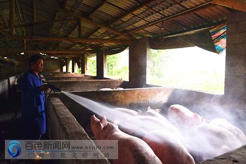 靖西:农民工返乡养猪致富