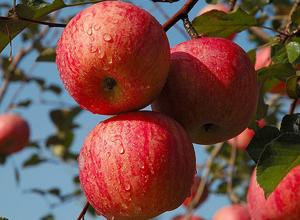 延安苹果:世界公认的好苹果