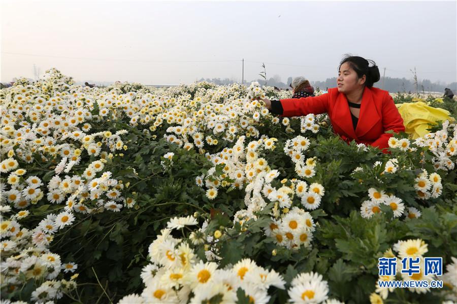 河南滑县:杭白菊丰收 农民采摘忙