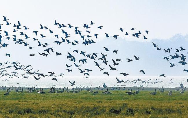 升金湖迎来候鸟迁徙高峰