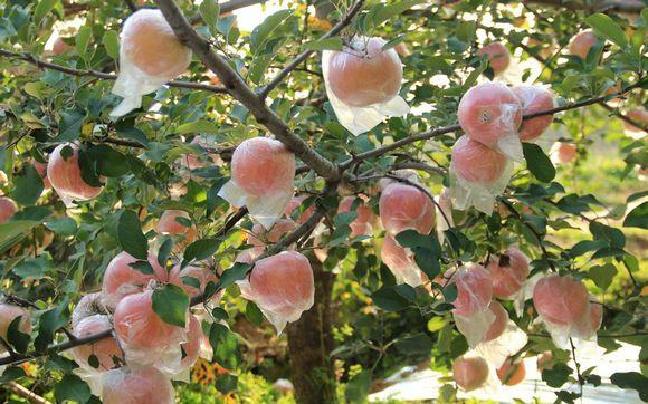 """临猗把课堂办进果园 作业要在树上""""交"""""""
