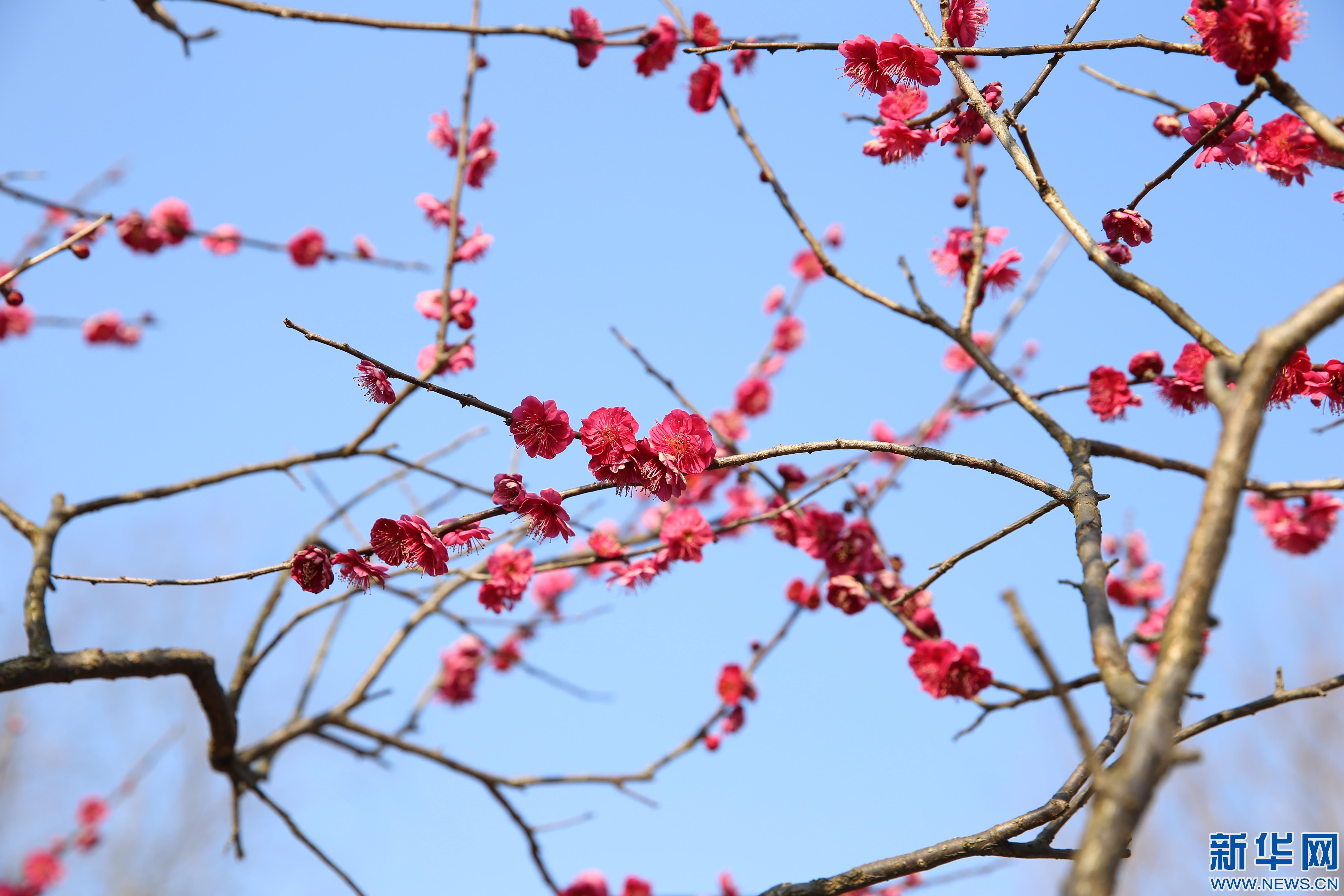 浙江杭州:冬去春来 二月梅香