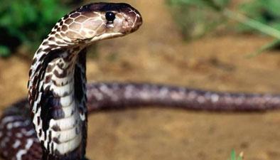 底层丛林 高效猎手 森林眼镜蛇