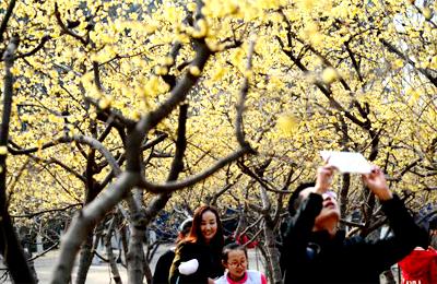 西安:腊梅报春