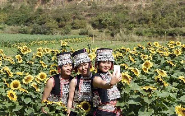 玉溪新平:漠沙江畔50余亩向日葵竞相开放