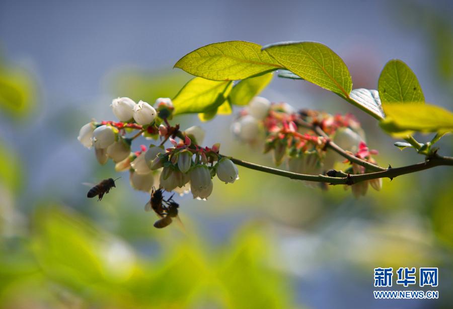在马伸桥镇蓝莓产业园,蓝莓花朵多为白色,小蜜蜂争相采蜜.图片