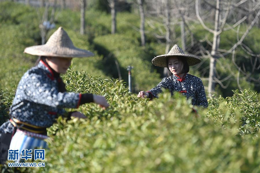 浙江开化:春茶开采忙