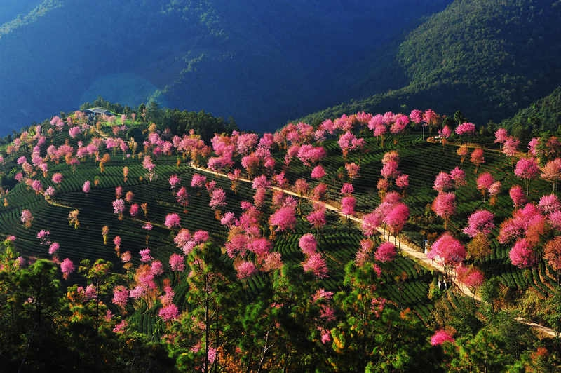 乡愁大理︱南涧,用樱花藏着一个春天