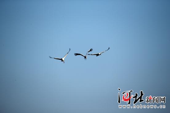 罕见!全球极度濒危鸟类白鹤现身白洋淀(组图)
