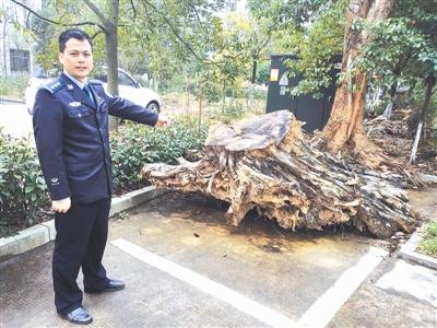 江西省最大盗伐红豆杉案开庭审理 50多人涉案