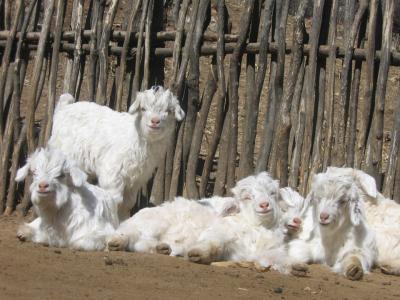 郸城县李楼乡:五只脱贫羊鼓起六旬老汉钱袋