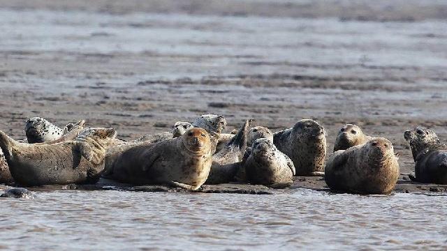 遼寧氣溫回暖 遼東灣斑海豹現身